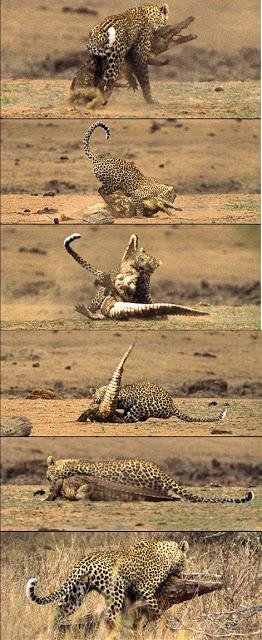 Leopard vs Crocodile - Photographer Hal Brindley
