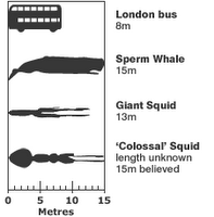 Colossal squid size